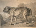 An Alpine Mastiff
