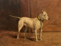 White Bull Terrier with Brass Collar