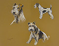 Wire Fox Terrier Studies
